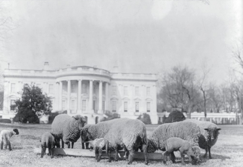 Sheep are shown on the South Lawn of the White House ca. August 27, 1919.