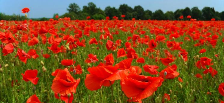 Photograph showing a field of poppy flowers