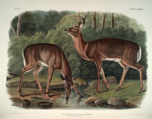 """Virginian Deer"" From: The Viviparous Quadrupeds of North America (1845–48)"