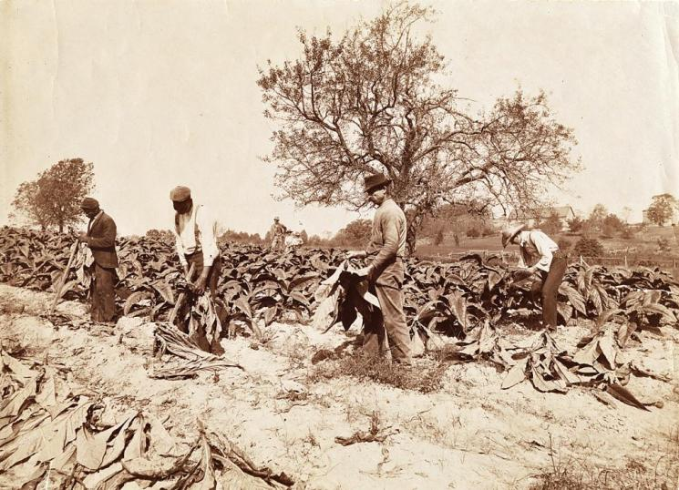 Cutting Tobacco, Southside Virginia, c. 1900