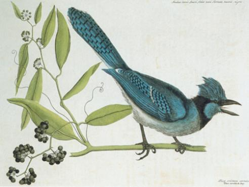 The Blew Jay (Blue Jay) from The Natural History of Carolina, Florida, and the Bahama Islands