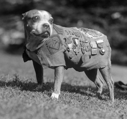 Photo of Sgt. Stubby, the dog